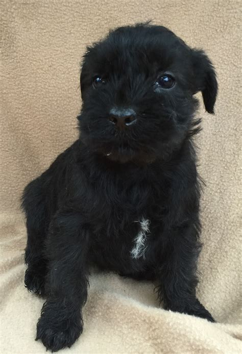 standard schnauzer puppies black standard schnauzer www pixshark images galleries with a bite