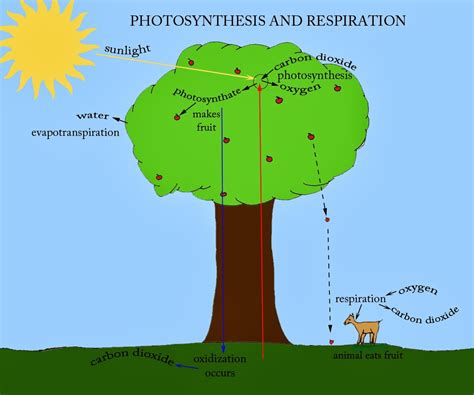 photosynthesis and respiration diagram 5th grade science sge