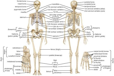 skeletons come out and places from drilling human anatomy skeletal system skeleton and locomotion