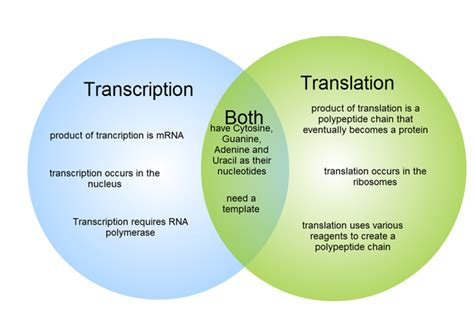 dna replication and protein synthesis venn diagram what are the major differences between transcription and