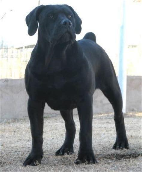 boerboel vs rottweiler boerboel pitbull mix south boerboel breeds picture