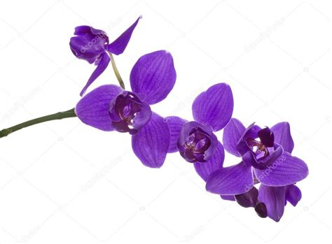 Läuse Auf Orchideen 4233 by Three Petals Violet Orchids On Branch Stock Photo 169 Dr