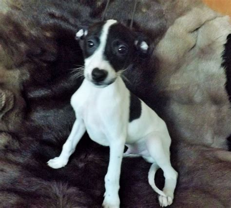 greyhound puppy for sale italian greyhound puppy for sale wantage oxfordshire pets4homes