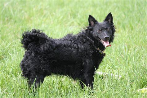 mudi puppies mudi puppies rescue pictures information temperament characteristics animals