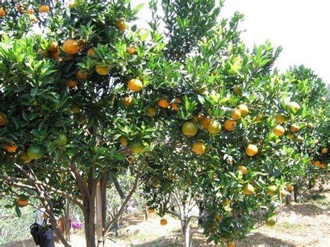 Tray Semai Malang cara budidaya jeruk keprok bibit