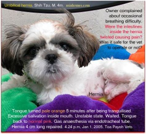 shih tzu respiratory problems 031208asingapore veterinary cat rabbits hamster veterinarian veterinary fees