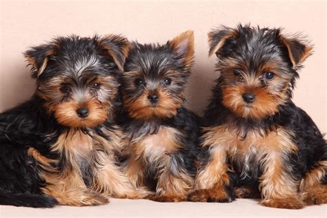 free yorkie puppies in az breeders in arizona puppies for sale in arizona autos post