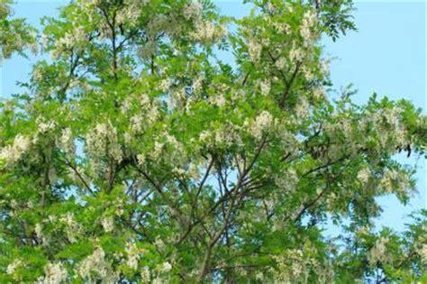 Landscape Forms Black Locust Plants That Thrive In Soil