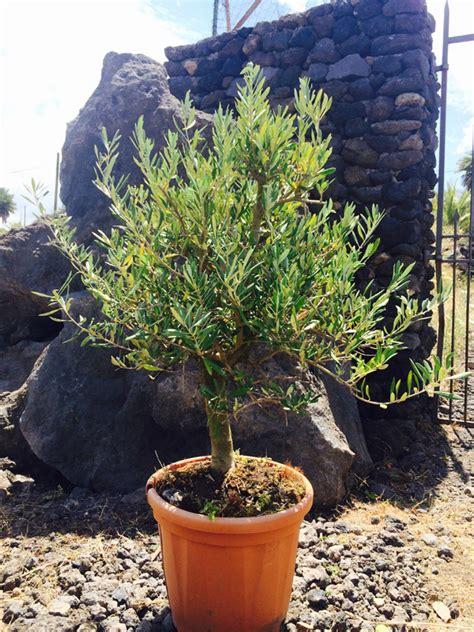 alberelli da vaso olivo cespuglio mini alberello vendita