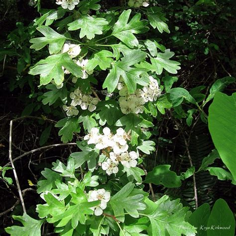black hawthorn pacific northwest native plants pinterest