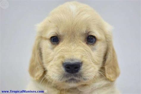 comprar golden retriever comprar golden retriever valencia merry photo