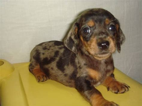 dachshund puppies for adoption brindle dachshund wallpaper image breeds picture