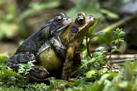 Garden Frogs by Common Frog Naturespot