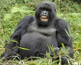 gorilla gorilla animal wildlife