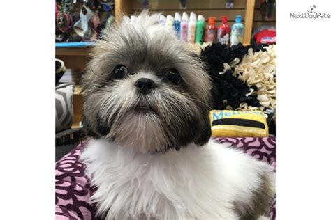 new york shih tzu breeders shih tzu white shih tzu for sale in new york ny 4239112571 4239112571