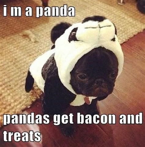 Dog Bacon Meme - don t they pug meme bacon and puppys