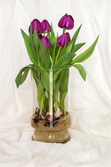 Growing Tulips In Water Vase by Magenta Tulips Growing In Water In A Glass Vase Bulbs And Root Stock Photo Image 50903112