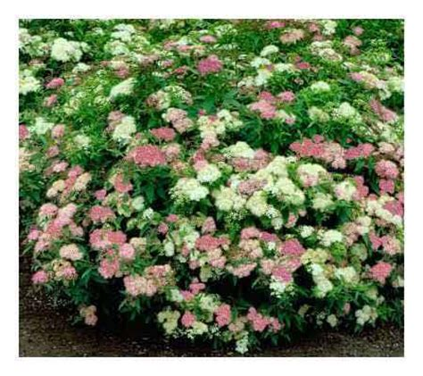 cottage farms set of two spirea shibori plants qvc com
