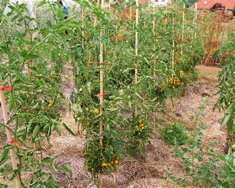 garten pur tomaten krankheiten