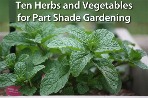What Garden Vegetables Like Shade 10 Herbs Vegetables For Growing In A Shaded Garden