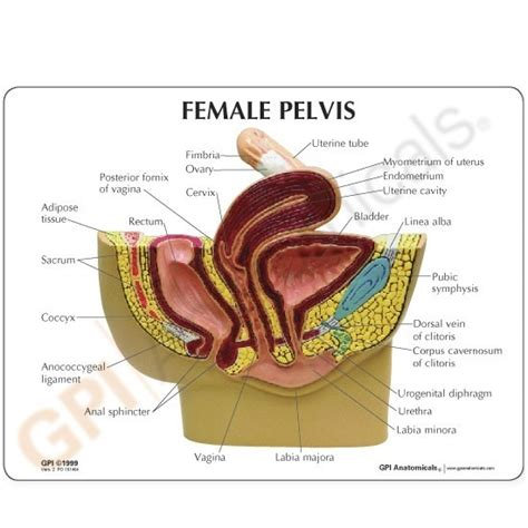 picture of women pelvic area female pelvis section anatomy model 3500 reproduction
