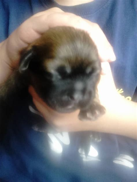 chocolate brown shih tzu puppies for sale chocolate brown shih tzu puppies choppington northumberland pets4homes