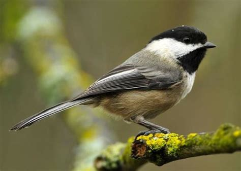 black capped chickadee s secret diet nature and