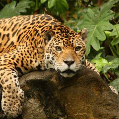 is jaguar endangered threatened jaguars prey on endangered green turtles