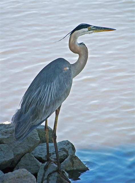Great Blue Heron Portrait Photograph By Suzanne Gaff Blue Heron