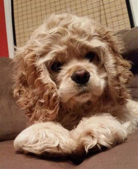 Best 20+ Cocker spaniel puppies ideas on Pinterest ...