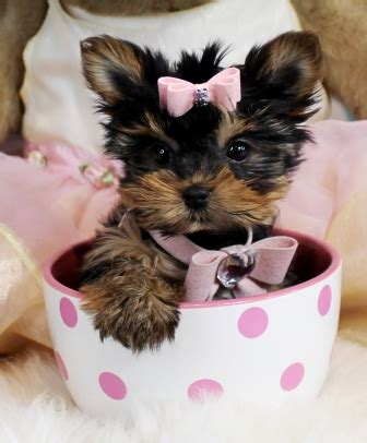 yorkie on sale baby teacup yorkies for sale