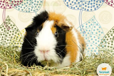 vitamin c vegetables for guinea pigs guinea pigs diet all you need to ferplast