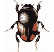 Insect Beetle Clip Art At Clkercom  Vector