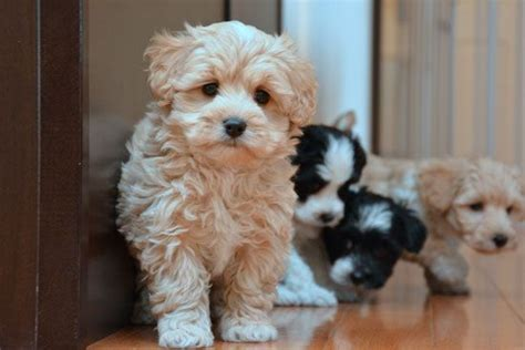 maltipoo puppies for sale in ohio 1000 ideas about maltipoo breeders on shih tzu breeders yorkie breeders