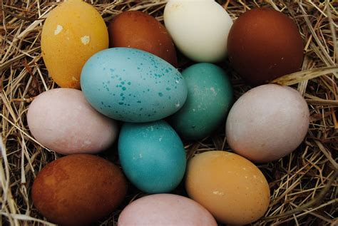 egg colors three ways to dye eggs my pet chicken