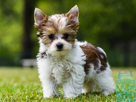 southern yorkies the american kennel club lists the terrier as 2 in breeds picture