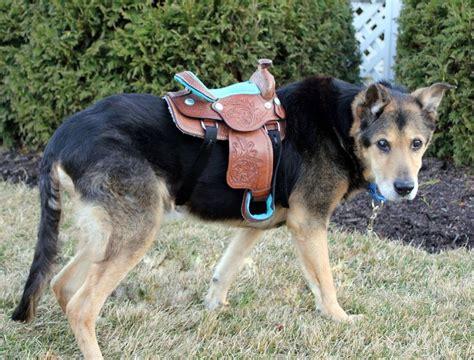 western horse saddle  display  dog costume
