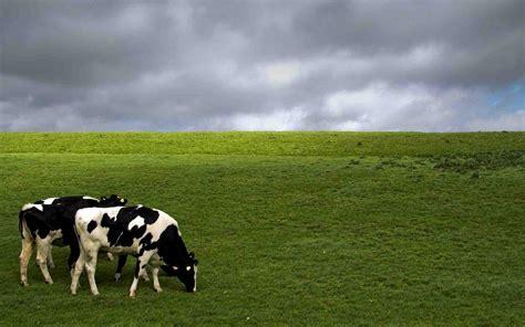 Cowhide Wallpaper Cattle Wallpaper Wallpapersafari