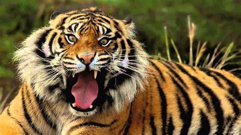 imagenes artisticas de tigres preciosas y feroces imagenes de tigres en hd youtube