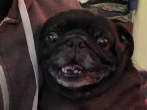 dramatic pug dramatic pug argument ends with a