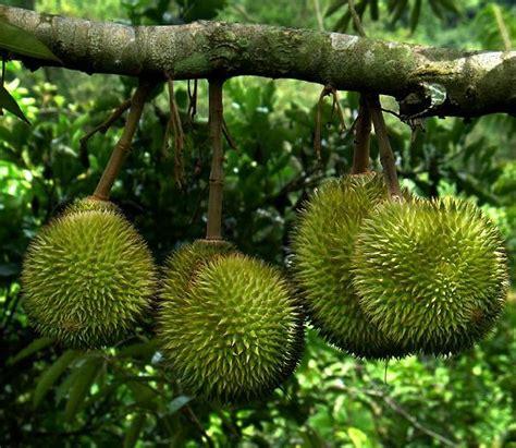 Custom Fruit Buah Tambah Nama tanaman durian sitokong jual tanaman hias