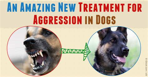 medication for aggressive dogs an amazing new treatment for aggression