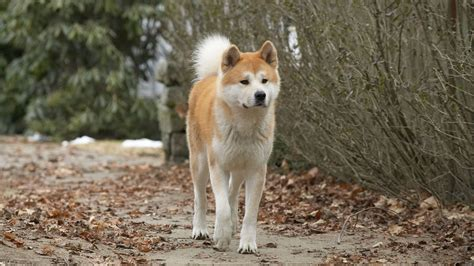 hachi the the most loyal the world has seen reunites with owner after barkpost