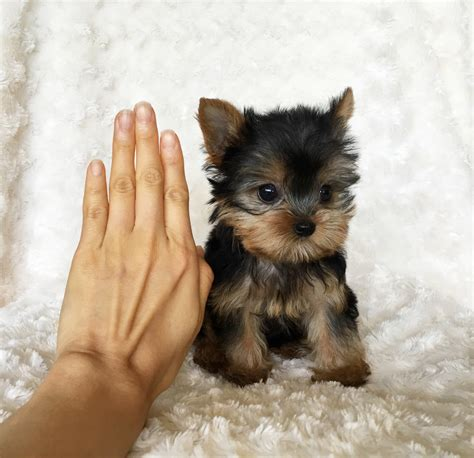 micro teacup yorkies for sale in california tiny teacup yorkie puppy for sale iheartteacups