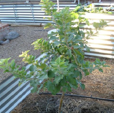 Pohon Bodhi Kecil Sedang Besar cara menanam apel dari biji yang baik dan benar