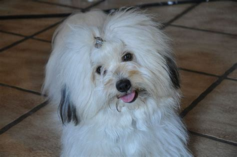 havanese coton de tulear difference between havanese and coton de tulear havanese vs coton de tulear