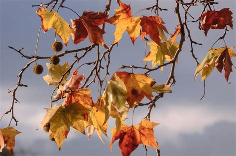 gambar gratis cabang daun kuning alam musim gugur