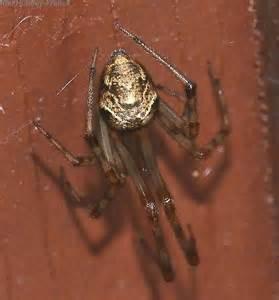 american house spider american house spider parasteatoda tepidariorum