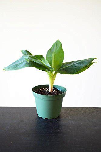 tiny musa banana tree truly tiny tiny musa banana tree 4 quot pot great fruit plnat