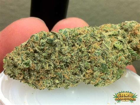 blue cheese seeds strain review grow marijuanacom